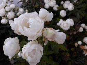 Roses blanches de la terrasse commune