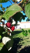 Framboises du jardin